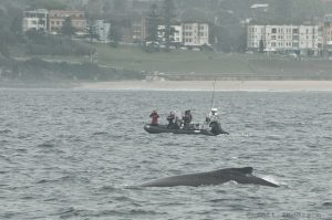 Best Time Of Year To Go Whale Watching In Sydney